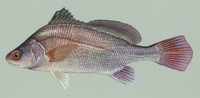 Freshwaterdrum