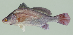 Freshwaterdrum.png