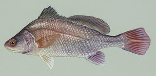 Freshwater drum Species of fish