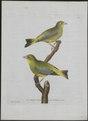 Fringilla chloris - 1790-1796 - Print - Iconographia Zoologica - Special Collections University of Amsterdam - UBA01 IZ16000073.tif