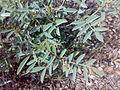 Fujeirah north 1501200713095 Tephrosia apollinea.jpg