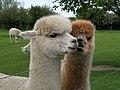 GOC The Pelhams 087 Alpacas (Vicugna pacos) (27683274294).jpg