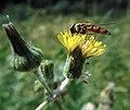 GT Marmalade Hoverfly on Catsear.jpg