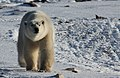 Gaiter the polar bear (6377209251).jpg