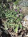 Galeopsis ladanum s. str. sl1.jpg