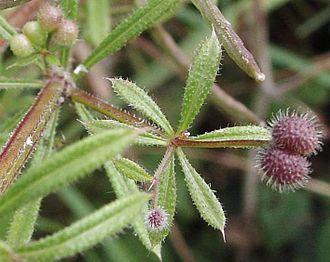 Goosegrass - Image: Galium.aparine