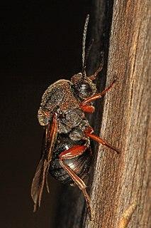 Gall wasp