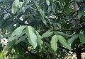 Garcinia tinctoria kz2.JPG