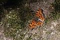 Gehakkelde aurelia - Polygonia c-album - comma (48319399471).jpg