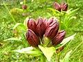 Gentiana Purpurea Ble.jpg