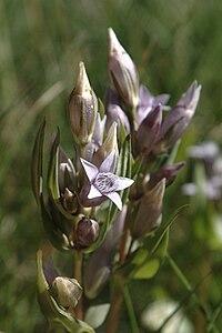 G. amarella, ängsgentiana