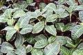 Geogenanthus Inca 3zz.jpg