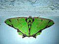 Geometrid Moth (Agathia succedanea) (6726412241).jpg