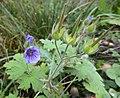 Geranium bohemicum.jpg