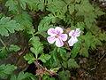 Geranium purpureum-2.JPG