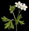 Geranium solanderi - Flickr - Kevin Thiele.jpg