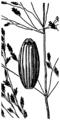 Glyceria grandis HC-1950-p.png