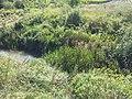 Glyceria maxima sl24.jpg