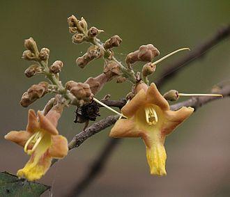 Gmelina arborea -  Flower in Kolkata, West Bengal, India.