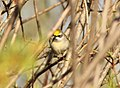 Golden-winged Warbler (female), Kate's Grade, Marquette Co., MI, 19 May 2015 (17727395908).jpg