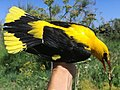 Golden Oriole at bird ringing, Ventotene.jpg