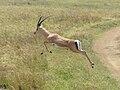 Grant's Gazelle, jumping, Serengeti.jpg