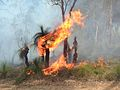Grass tree on fire during controlled burn.jpg
