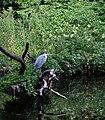 Graureiher im Schlosspark Charlottenburg.jpg