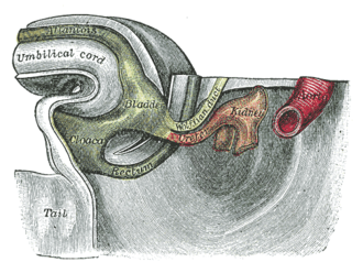 Development of the reproductive system - Tail end of human embryo thirty-two to thirty-three days old. The entodermal cloaca is visible at center left, labeled in green