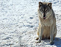 Gray Wolf in Minnesota 2.jpg