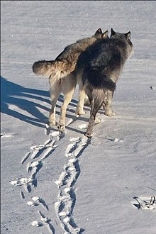 Gray wolves leaving tracks in the snow.jpg