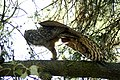 Great-horned-owl-stretching.jpg