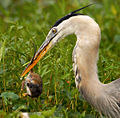 Great Blue Heron with (gulp).....a Rat - Flickr - Andrea Westmoreland.jpg