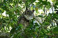 Great Horned Owl (Bubo virginianus).jpg