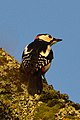 Great Spotted Woodpecker (Dendrocopos major) - Oslo, Norway 2020-12-23 (02).jpg