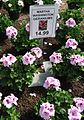 Great Swamp Greenhouse photos Martha Washington Geraniums.JPG