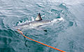 Great White Shark (Carcharodon carcharias) 05.jpg