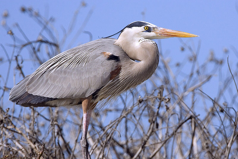 File:Great blue heron02 - natures pics.jpg