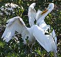 Great egret feeding chick by Bonnie Gruenberg.jpg