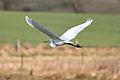 Great egret flying low.jpg