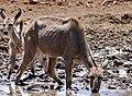 Greater Kudus (Tragelaphus strepsiceros) female and young drinking ... (50217666522).jpg