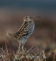 Greatsnipe 1000 (cropped).jpg
