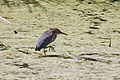 Green Heron, Ballona Wetlands.jpg