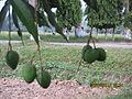 Green mango @BRRI.JPG