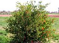 Grenadier FloraTrek2007 ccaby2.jpg