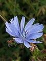 Grenchen - Wilde cichorei (Cichorium intybus).jpg