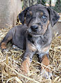 Grey Leopard Catahoula.jpg