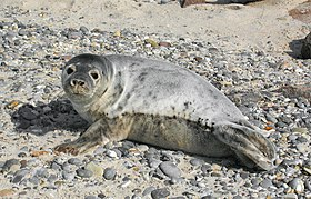 Grey seal Halichoerus grypus young.jpg