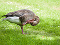 Greylag goose (14377616904).jpg
