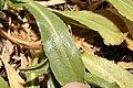 Grindelia integrifolia 2767.JPG